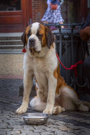 Wroclaw, Poland saint bernard dog sitting with eyes closed at the street of old town Banco de Imagens