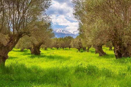Olive trees plantation and snow mountain peaks spring background, Greece, Peloponnese Standard-Bild