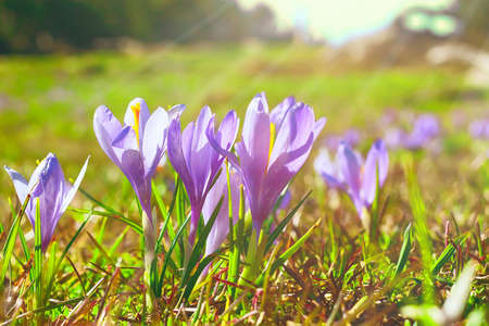 Spring background with close-up group of blooming crocuses spring flowers and sun beam