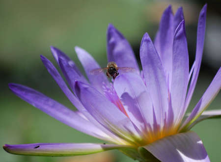 waterlilly: a bee fully  lit  flying on a  waterlilly  with another bee shadow  on the leaf