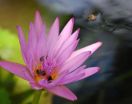 ee: a  bee   flying on waterlilly