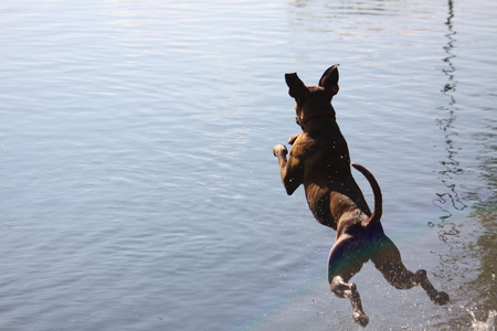 Boxer dog jump to the water 스톡 콘텐츠