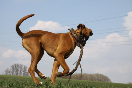 boxer dog: Boxer dog playing with stick