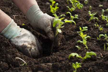 origin of man: Image of male hands transplanting young plant