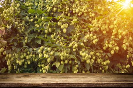 hopgarden: Beer keg with glasses of beer on rural countryside background,