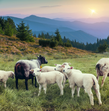 sheep within a mob turn to check out the photographer