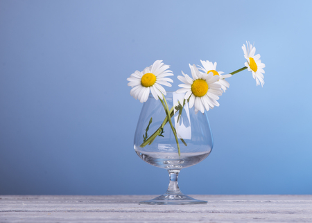 marguerite: bunch of fresh camomile flowers on blue background