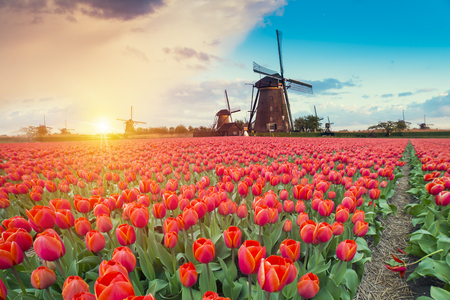 Majestic dawn over beautiful field of tulip flowers and windmill, traditional Holland landscape