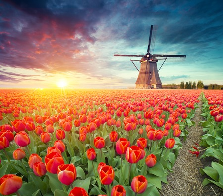 het traditionele Holland Hollandse landschap van Nederland met één typische windmolen en tulpen, het platteland van Nederland