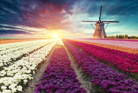 traditional Netherlands Holland dutch scenery with one typical windmill and tulips, Netherlands countryside