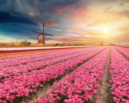 zaandam: Landscape with tulips, traditional dutch windmills and houses near the canal in Zaanse Schans, Netherlands, Europe
