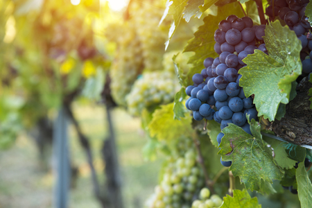 vineyard with ripe grapes in countryside at sunset Banco de Imagens