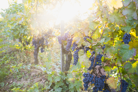 Vineyards at sunset in autumn harvest. Ripe grapes in fall. Banco de Imagens