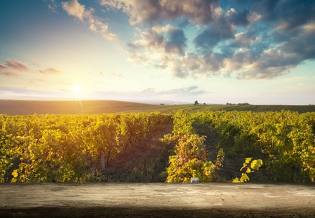 Ripe wine grapes on vines in Tuscany, Italy. Picturesque wine farm, vineyard. Sunset warm light