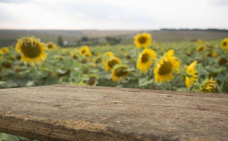 Empty wooden plank with Sunflower field background Stockfoto