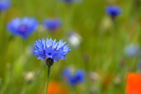 Cornflower growig on the meadow