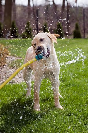 A dog drinking water straight from a garden hose