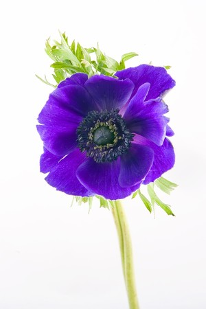 Anemone flower on a white background