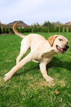 A young puppy running in the garden photo