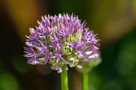 Allium aflatunense (flowering onion) on a sunny day photo
