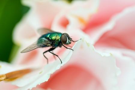 irridescent: Long-legged fly (dolichopodidae) on a roses petal Stock Photo
