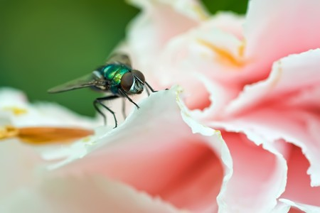irridescent: Log-legged fly on a roses petals