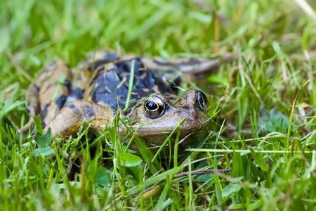 Common frog (rana temporaria) in a garden photo