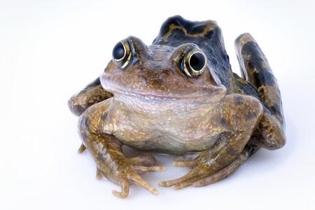 Common frog, rana temporaria, isolated on white photo