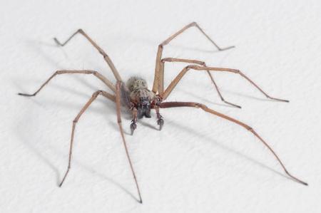 House Spider (Tegenaria Domestica) Standard-Bild - 8402457