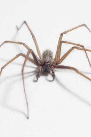 Macro shot of tegenaria domestica  (house spider)