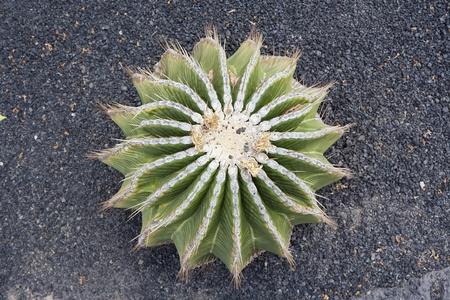 Cactus growing on barren land of Lanzarote