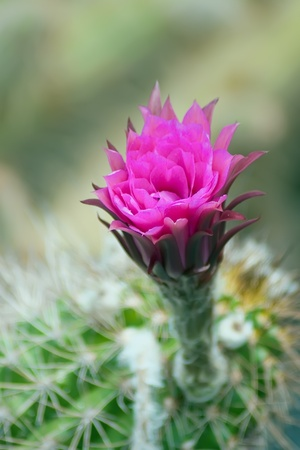 Beautiful pink cactus flower, Escobaria photo