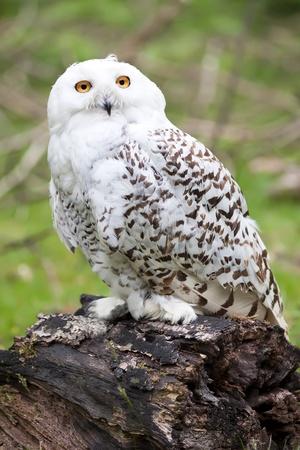Beautiful white owl (Bubo scandiacus)