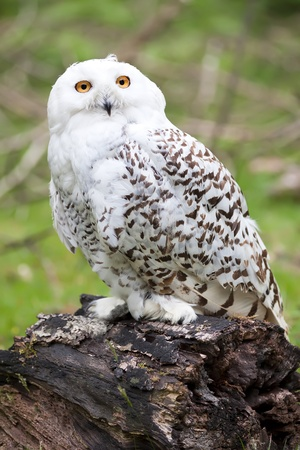 Beautiful white owl (Bubo scandiacus)