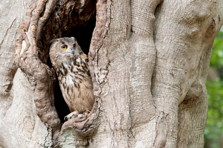 European eagle owl looking out from a tree hollow