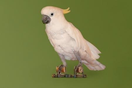 rollerskates: Sulphur-crested Cockatoo,Cacatua sulphurea,on roller-skates
