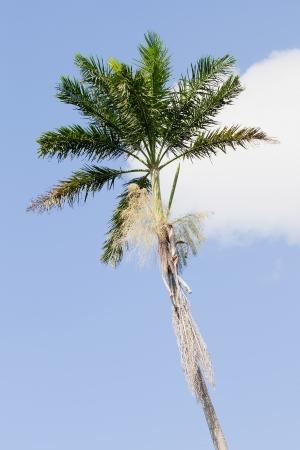 morass: Morass Royal Palm, Roystonea Princeps, endemic to Jamaica