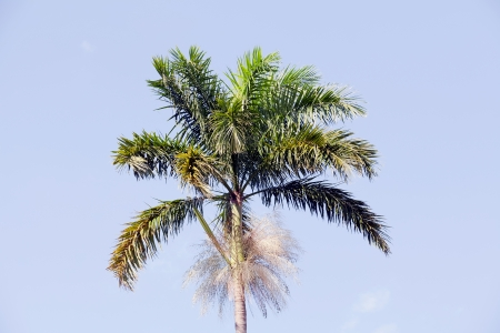 morass: Jamaican Morass Cabbage Palm, Roystonea Princeps Stock Photo
