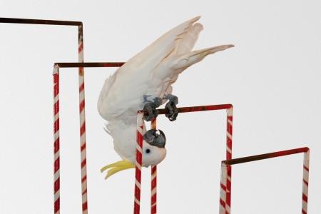 Sulphur-crested Cockatoo,Cacatua sulphurea