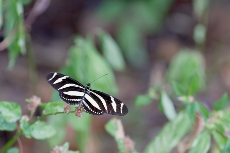 longwing: Zebra longwing butterfly (Heliconius charithonia)