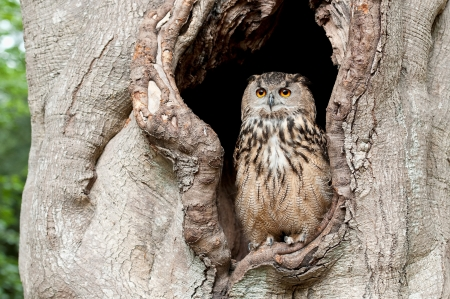 wise old owl: European eagle owl in a tree hollow