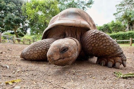 Aldabra-Riesenschildkröte aus Mauritius Standard-Bild - 18075773