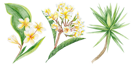 thai orchid: Botanic painting with plumeria brunches and yucca tree for design isolated on white background