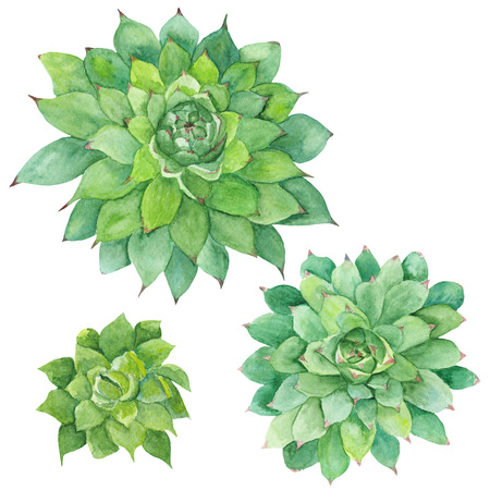 Hand-painted drawing with three green tropical plants isolated on white background, Sempervivum botanical illustration