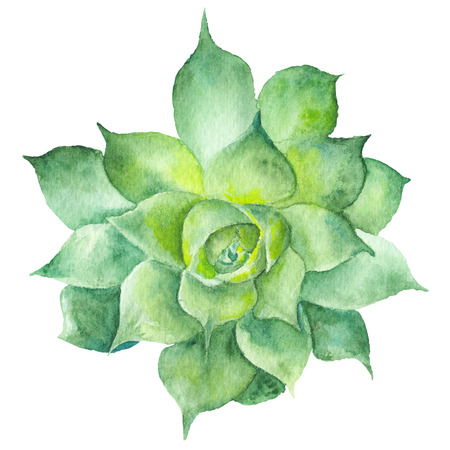 Hand-painted drawing with green tropical plant isolated on white background, Sempervivum botanical illustration