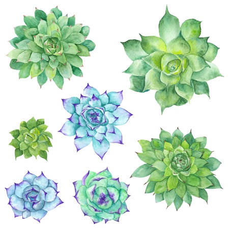 Hand-painted botanical illustration with three green tropical plants isolated on white background, Sempervivum botanical illustration Foto de archivo