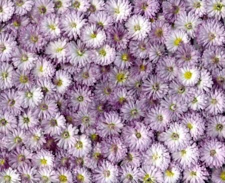 flor silvestre: Fondo v�vidos oto�o de Crisantemo magenta bella flor