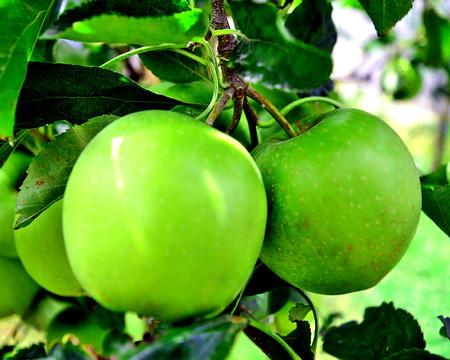 庭で緑のリンゴ 写真素材