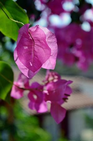 クレタ島 (ギリシャ) の美しい花 写真素材