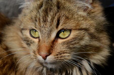 猫の肖像画を間近します。 写真素材